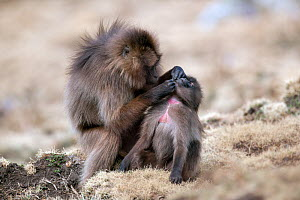 Gelada baboon (Theropithecus gelada) female grooming her child, Simien Mountains National Park, Ethiopia, March.  -  Constantinos Petrinos