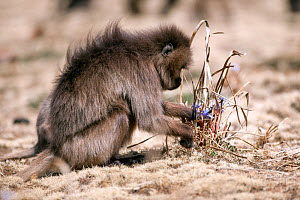 Gelada baboon (Theropithecus gelada) female foraging for food. Simien Mountains National Park, Ethiopia, March.  -  Constantinos Petrinos