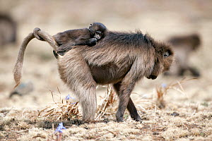 Gelada baboon (Theropithecus gelada) female carrying baby while foraging. Simien Mountains National Park, Ethiopia, March.  -  Constantinos Petrinos