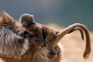 Gelada baboon (Theropithecus gelada) female carrying baby. Simien Mountains National Park, Ethiopia, March. - Constantinos Petrinos