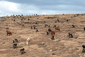 Gelada baboon (Theropithecus gelada) troupe foraging for food along with grazing sheep and goats inside the Simien Mountains National Park, Ethiopia, March.  -  Constantinos Petrinos
