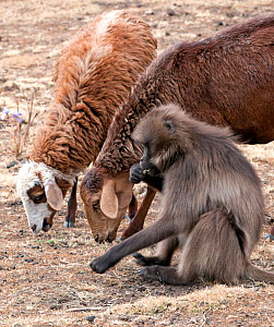 Gelada baboon (Theropithecus gelada) female foraging for food next to grazing sheep inside the Simien Mountains National Park, Ethiopia, March.  -  Constantinos Petrinos