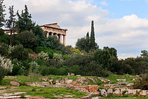 The Temple of Hephaestus surrounded by Cypress trees (Cupressus sempervirens), Olive trees (Olea europaea) and Prickly pears (Opuntia ficus-indica ). Attica region, Athens, Greece,  January 2011. - Constantinos Petrinos