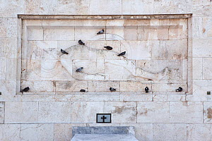 Tomb of the  Unknown Soldier with Feral pigeons (Columba livia) sitting on the monument located in Parliament Square (Syntagma Square) Attica region, Athens, Greece, Mediterranean, September 2013  -  Constantinos Petrinos