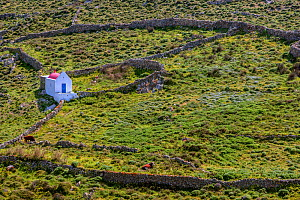 Small chapel in field, with two cows. Mykonos Island, Cyclades, Greece, April.  -  Constantinos Petrinos