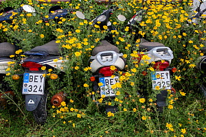 Motorcycles surrounded by  Crown daisies (Glebionis coronaria) parked ready for tourists to hire in the summer.  Spetses Island, Aegean Sea, Mediterranean, Greece, April 14, 2009 - Constantinos Petrinos