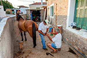One of the last two farriers on Spetses island kneels down in order to place shoeing horse, whilst farmer assists him by holding the horse's leg. No cars are allowed on the island, so horses are used... - Constantinos Petrinos