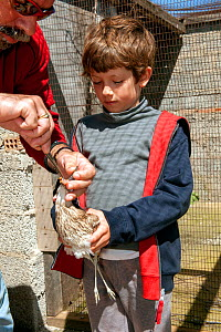 Young boy holding blind Eurasian stone curlew  (Burhinus oedicnemus) whilst founder and director of the Aegean Wildlife Hospital, Mr. Marios Fournaris, feeds  it. The bird was shot illegally, is blind...  -  Constantinos Petrinos