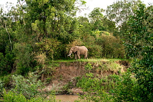 African elephant (Loxodonta africana) among tall trees and bushes near a small river, Masai Mara National Reserve, Rift Valley Province, Kenya, East Africa, August 2012. - Constantinos Petrinos