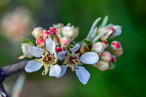Almond-leaved pear (Pyrus spinosa) flowers, Mount Hymettus, Kessariani Aesthetic Forest, East-Central Attica, Greece, March.  -  Constantinos Petrinos
