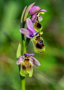 Sawfly orchid (Ophrys tenthredinifera) Mount Hymettus, Kessariani Aesthetic Forest, East-Central Attica, Greece,  March.  -  Constantinos Petrinos