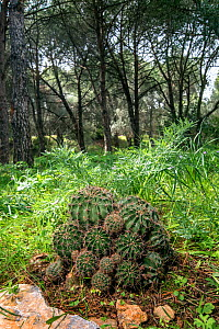Cactus (Echinopsis oxygona) introduced species, Mount Hymettus, Kessariani Aesthetic Forest, East-Central Attica, Greece, March.  -  Constantinos Petrinos