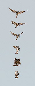 Pied kingfisher (Ceryle rudis) hovering and diving composite sequence. Masai Mara National Reserve, Rift Valley Province, Kenya, East Africa, August.  -  Constantinos Petrinos