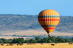 Hot air balloon with tourists in low flight over savanna, with Blue wildebeest (Connochaetes taurinus)  Masai Mara National Reserve, Rift Valley Province, Kenya, East Africa, August 2012.  -  Constantinos Petrinos
