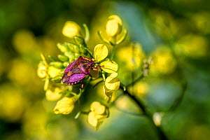Shield Bug (Carpocoris purpureipennis) on White mustard (Sinapis alba) flowers, Syngrou Forest,  Athens, Greece, Mediterranean, March 2015. - Constantinos Petrinos