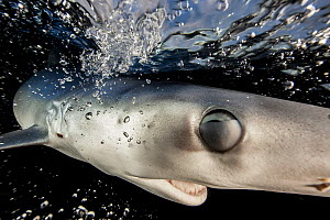 A Blue shark (Prionace glauca) just below the surface, with nictitating membrane partially shut to protect its eye, Hauraki Gulf, Auckland, New Zealand, June. - Richard Robinson