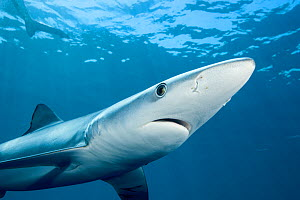 Blue shark (Prionace glauca) viewed from below, off the coast of Hawke's Bay, New Zealand, February. - Richard Robinson
