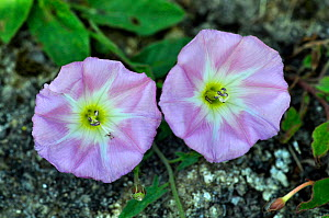 Sea bindweed (Calystegia soldanella) flowers in bloom. Dorset, UK, June. - Colin Varndell