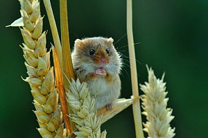 Harvest mouse (Micromus minutus) climbing between ripe Wheat, Dorset, UK, July.  -  Colin Varndell