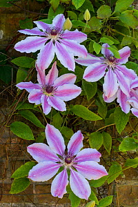 Clematis, Nelly Moser, cultivated plant.  -  Gary  K. Smith