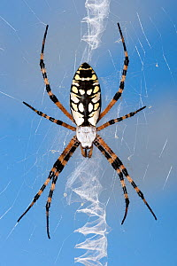 Yellow garden orbweaver (Argiope aurantia) female in web with stabilimentum running vertically through web, Naples, Florida, USA. September. - Steven David Miller