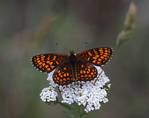 Heath fritillary butterfly (Mellicta athalis) feeding from Yarrow flower (Achillea millefolium) Hungary, June.  -  Dave Bevan