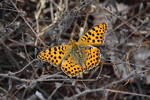 Queen of Spain fritillary (Issoria lathonia) at rest on plant, Hungary June.  -  Dave Bevan
