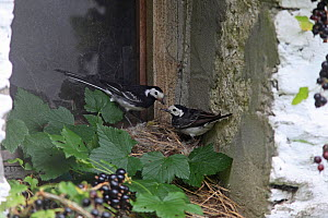 Pied wagtail (Motacilla alba yarellii) pair with food for chicks on nest in barn windowsill, Carmarthenshire, Wales, UK, July.  -  Dave Bevan
