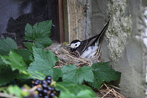 Pied wagtail (Motacilla alba yarellii) brooding chicks on nest, Carmarthenshire, Wales, UK, July.  -  Dave Bevan
