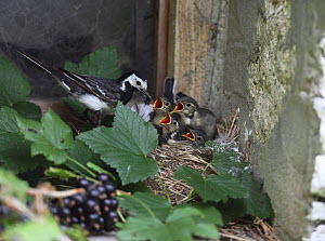 Pied wagtail (Motacilla alba yarellii) at nest with chicks, Carmarthenshire, Wales, UK, August.  -  Dave Bevan