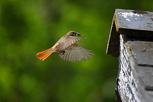 Redstart (Phoenicurusu phoenicurus) female flying to nest in barn eaves with fly prey, Carmarthenshire, Wales, June. - Dave Bevan