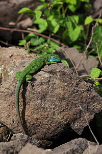 Green lizard (Lacerta viridis) male basking on rock in full breeding colours, Hungary, May.  -  Dave Bevan