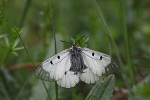 Clouded apollo butterfly  (Parnassius mnemosyne) at rest with wings open, Hungary, May.  -  Dave Bevan