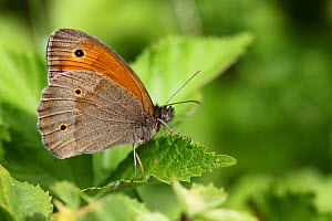 Meadow brown butterfly (Maniola jurtina) male at rest on leaf, Hungary, May. - Dave Bevan