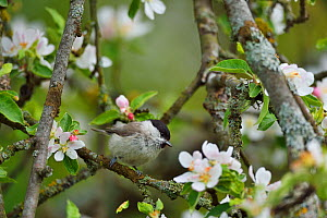 Marsh tit (Poecile palustris) perched in apple blossom, Musteika Village, Lithuania, May.  -  Staffan Widstrand