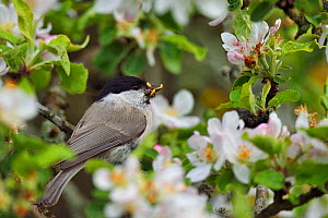 Marsh tit (Poecile palustris) perched in apple blossom with prey, Musteika Village, Lithuania, May.  -  Staffan Widstrand