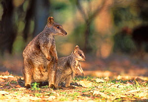 Allied rock-wallaby (Petrogale assimilis) female and joey, Queensland, Australia. - Dave Watts