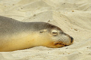 Australian sealion (Neophoca cinerea) hauled out on beach, Kangaroo Island,  South Australia. Endangered species.  -  Dave Watts