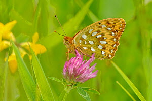 Dark green fritillary (Argynnis aglaja) on pink clover, south west France.  -  Dave Watts