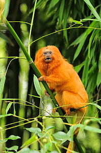 Golden lion tamarin (Leontopithecus rosalia rosalia) captive in zoo. Occurs in Brazil.  -  Dave Watts