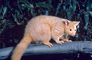 Common brushtail possum (Trichosurus vulpecula) golden colour phase, Tasmania, Australia. - Dave Watts