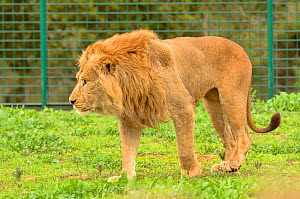 African lion (Panthera leo) male, captive in Rabat Zoo, Morocco. Likely to be the Barbary lion (Panthera leo leo) subspecies which is now extinct in the wild.  -  Dave Watts