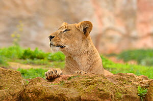 African lion (Panthera leo) female, captive in Rabat Zoo, Morocco. Likely to be the Barbary lion (Panthera leo leo) subspecies which is now extinct in the wild.  -  Dave Watts