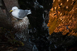 Black-legged kittiwake (Larus tridactyla) on its nest with chick, viewed from above, Latrabjarg cliff, Iceland, July. - Cyril Ruoso