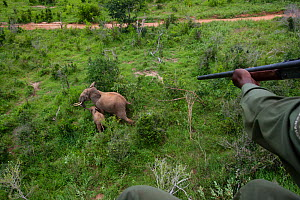 Darting of mother and baby African elephant (Loxodonta africana) during translocation by Kenya Wildlife Service, due to over population, Mwaluganje Reserve, Kenya. October 2006. - Cyril Ruoso
