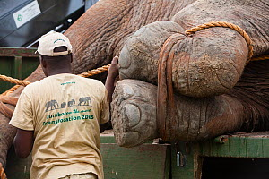 Man standing next to African elephant (Loxodonta africana)  anesthetized during translocation by Kenya Wildlife Service, due to over population, Mwaluganje Reserve, Kenya. October 2006. - Cyril Ruoso