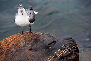 Franklin gull (Larus pipixcan) stood on the head of  is walking on the head of a South American sea lion  (Otaria byronia) Peru.  -  Cyril Ruoso