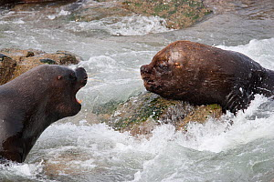 South American sea lion (Otaria flavescens) interacting on the shore, Punta Coles Reserve, Peru, December.  -  Cyril Ruoso