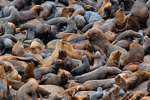 South American sea lion (Otaria byronia) and American fur seal (Arctocephalus australis) colony,  Punta Coles reserve, Peru. December  -  Cyril Ruoso