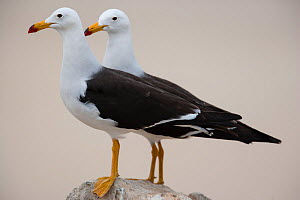 Band-tailed gulls  (Larus belcheri) two standing on a rock,   Punta Coles reserve, Peru.  -  Cyril Ruoso